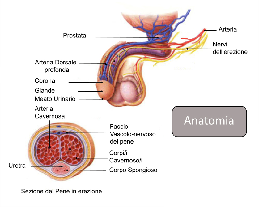 andrologia erezione mecanismo